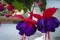 Fuchsia-o planta senzuala